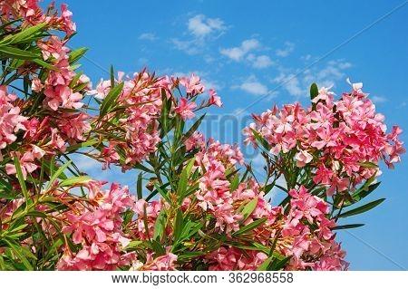 Bright Pink Flowers Of Oleander Tree ( Nerium Oleander )  Against  Blue Sky  On Sunny Summer Day