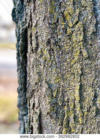 Mature Tree Displays Its Rough, Textured Bark And Grooves As Well As The Mosses It Hosts. Conceptual