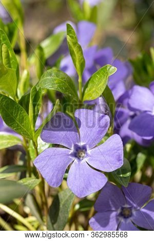 Large Flowers Of Vinca. Vinca Minor L. Evergreen Perennial Herb Used In Pharmacology, Folk Medicine,