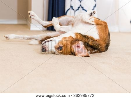 A Close Up View Of A Beagle Mix Hound With His Large Chest And Folded Limbs In The Air As He Dries H
