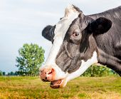 Closeup of a black and white cow with her mouth open. poster