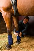 Woman installs bandages for the horse in the stall poster