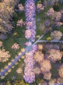 Copenhagen, Denmark - April 06, 2020: Aerial Drone View Of An Alley With Cherry Tree Blossoming At B