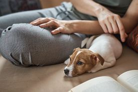 Woman Petting Jack Russel Terrier Puppy Dog On The Sofa. Good Relationships And Friendship Between O