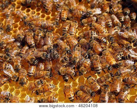 Honey Bees In Honeycomb