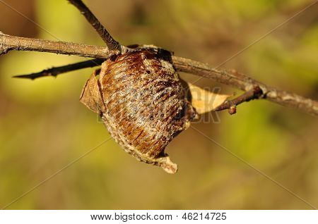 Mantis egg case (Ootheca laid)