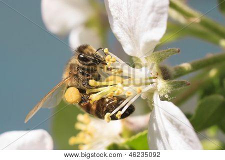 Honey Bee Harvesting Pollen.
