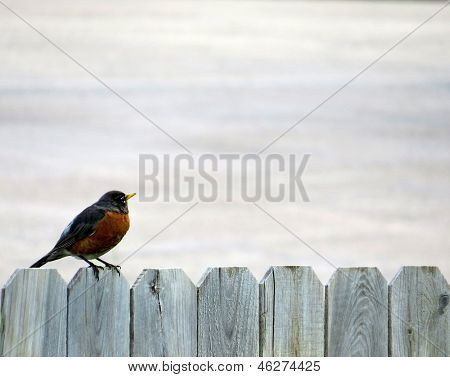 Large Robin on Gray Wood Fence Background
