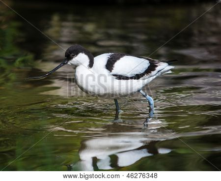 Funny bird with long beak standing in water poster