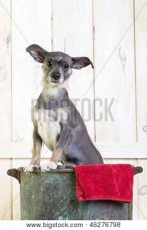 Cute small hairless puppy dog in wash tub
