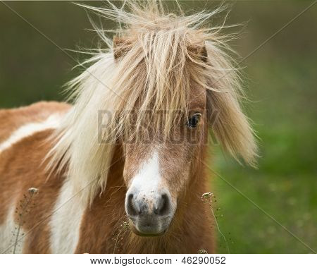 Shaggy Pony