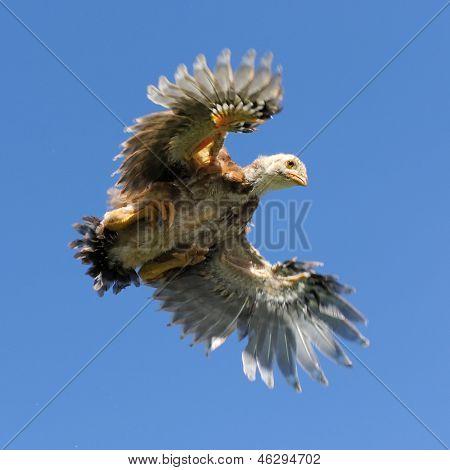 Junge Hühner fliegen In den Himmel mit Flügel-Verbreitung