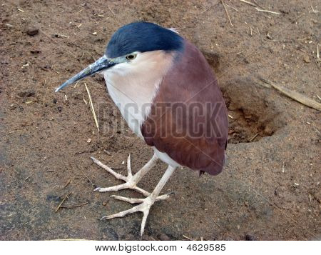 the Nankeeen night heron is found in Australia poster