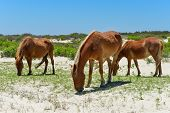 spanish mustangs wild horses on the dunes in north carolina poster