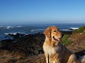 Golden Retriever with a Wonderful Ocean View poster
