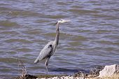 Great Blue Heron hunting for food at a lake. poster