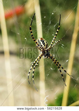 Wasp spider with kill