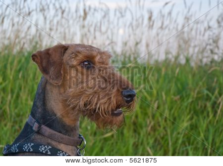 Airedale Terrier Dog Profile Portrait In Front Of Grassy Field