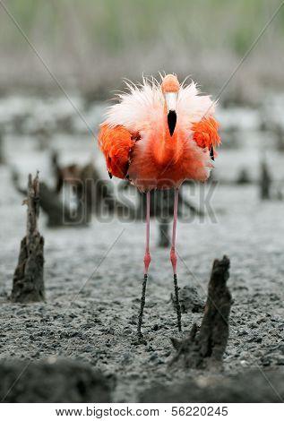 The American Flamingo (phoenicopterus Ruber)