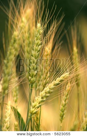 Ukrainian wheat