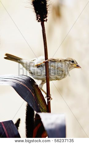 Sparrow Eating Grass Seeds