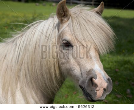 Head shot of beige and white pony