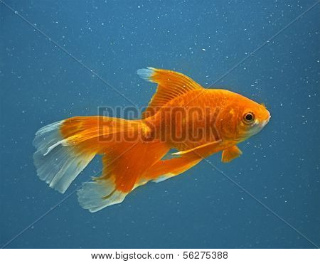 Orange Goldfish On Blue Background