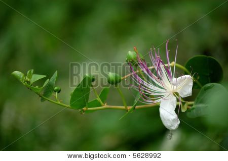 Caper Buds And Flower