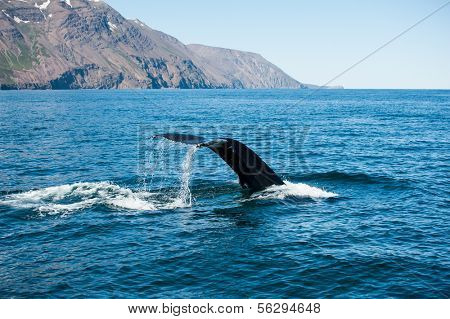 Tail fin of the mighty humpback whale (Megaptera novaeangliae) seen from the boat near Husavik, Iceland