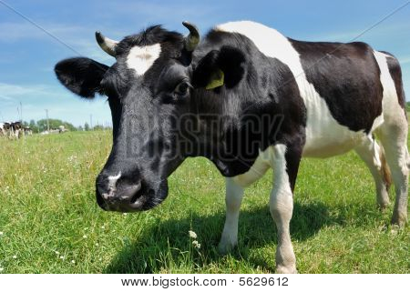 Curious Cow At Green Pasture