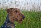 Airedale terrier dog sitting in front of a grassy field. The image is taken close up in profile. poster