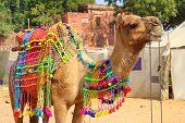 Pushkar Camel Fair - decorated camel during festival in Pushkar India poster
