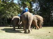 Elephant polo practise, Anantara Golden Triangle, Chaing Rai, Thailand. poster