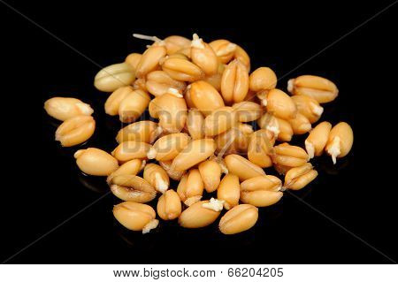 Wheat Germs On Black Background
