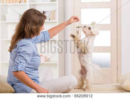poster of Cute and fluffy young Maltese puppy, standing on hind legs