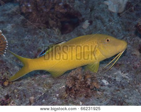 Yellowsaddle Goatfish