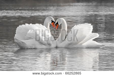 Romantic swan couple in love