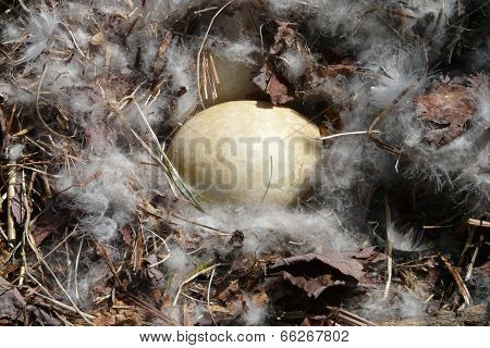 Canada Goose Egg in a Nest