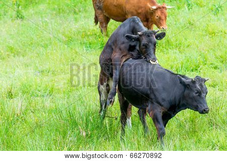 Black Cow Copulating In A Green Pasture