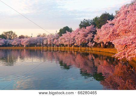 Blossoming cherry trees at dawn around Tidal Basin Washington DC.