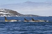 Flock orcas or killer whales swimming along the Antarctic Islands 1 poster
