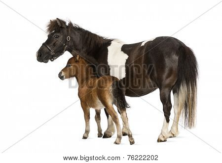 shetland and foal- 12 years old-1 month old