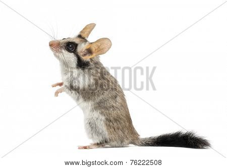 Asian garden dormouse on hind legs (Eliomys melanurus) isolated on white