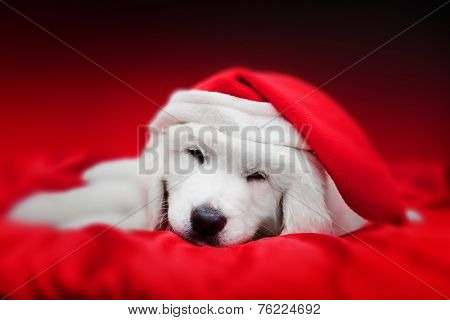 Cute white puppy dog in Chrstimas hat sleeping in red satin. Holiday theme, greeting card.