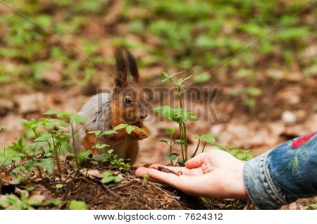 Little squirrel taking nuts from human hand in park poster