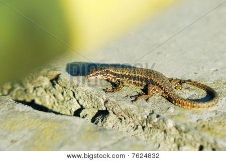 Alive Wall Lizard