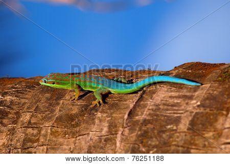 Turquoise gecko
