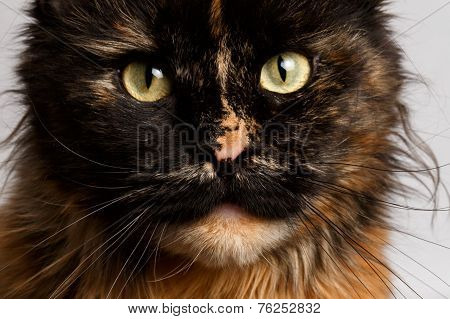 closeup ginger tortie Maine Coon cat looking in camera