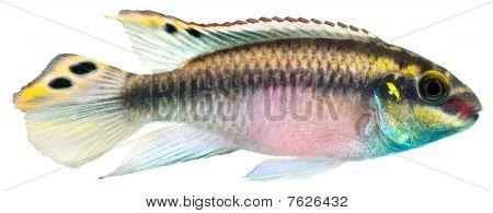 Kribensis Cichlid fish
