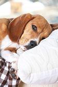 Tired beagle dog on pillow, closeup poster